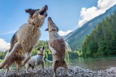 IL PET CARPET FILM FESTIVAL E LA CROCE ROSSA ITALIANA A SUPPORTO DEGLI ANIMALI IN DIFFICOLTA'